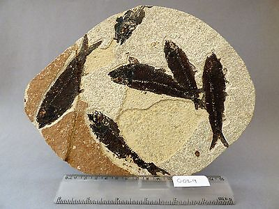 Mortality Plate displaying  shoal  of  Knightia fossil fish.Circa 48 m.y.o.