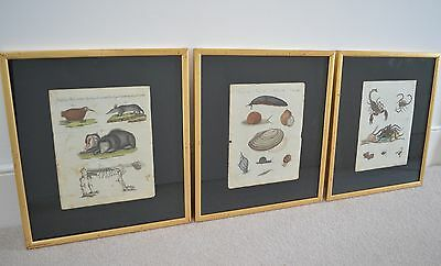 3 Framed Hand Painted Lithograph Prints by Bertuch 1790. Entomology, conchology