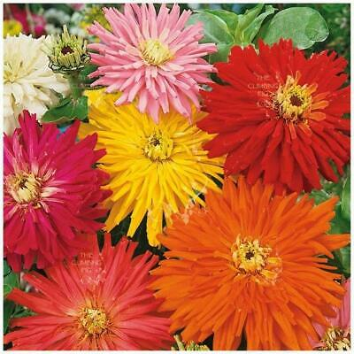 "Zinnia ""Happy Talk"" seeds 