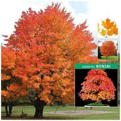 """ACER SACCHARUM """"Sugar Maple"""" seeds. Stunning feature tree. Suitable for Bonsai."""
