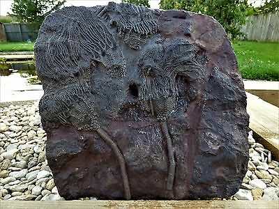 "Stunning and Large  Fossil Crinoid  Scyphocrinites "" Sea Lilly""  5295 gms."