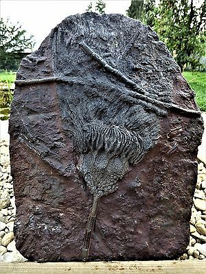 "Stunning and Large  Fossil Crinoid  Scyphocrinites "" Sea Lilly""  5.1 kg gms."