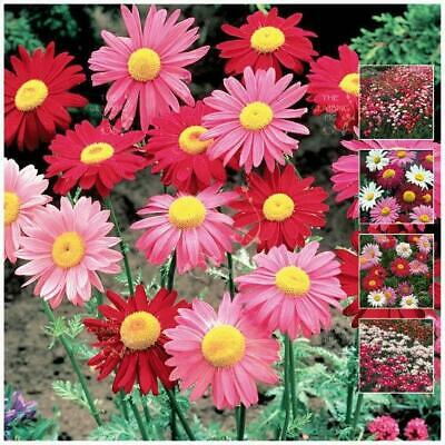 "Pyrethrum Daisy ""Robinson's Giant Mix"" seeds 
