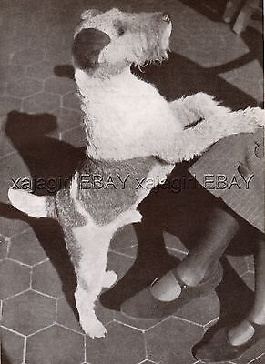 DOG Fox Terrier Wire Haired Begs for Attention, Vintage Print 1930s