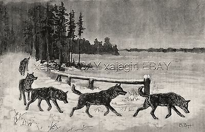 Wolf Pack Following Track in Countryside, Large 1890s Antique Print & Article