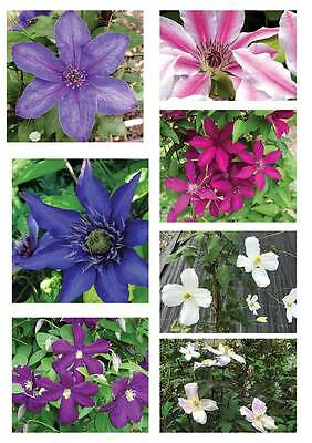 3 Mixed Clematis Climbing Plants - 2-3ft Tall in 2 Litre Pots