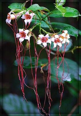 Strophanthus Petersianus - Seeds - Poison Rope Plant