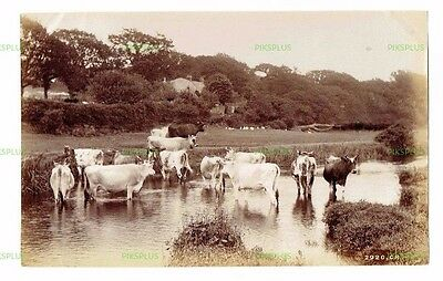 "Old Scottish Rural Albumen Photo "" Cattle "" Charles Reid Wishaw Antique C.1890"