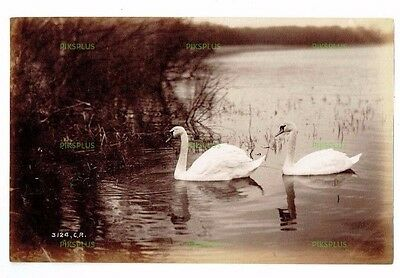 "Old Scottish Albumen Photo "" Pair Of Swans "" Charles Reid Wishaw Antique C.1890"