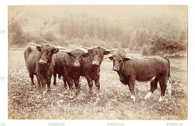 "Old Rural Albumen Photo "" Highland Cattle "" Charles Reid Wishaw Antique C.1890"