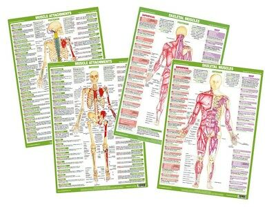 Anatomy Posters Muscles Skeleton Medical Anatomical Gym Human Body Chartex Chart