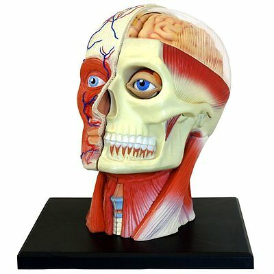 Human Head Skull Brain Anatomy Anatomical Model Medical Science Lab School Learn