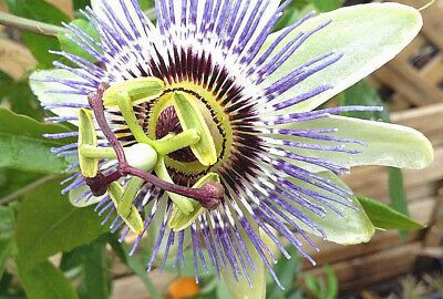 PASSION FLOWER PLANT Passiflora caerulea climber - large, UNIQUE, BLUE flowers