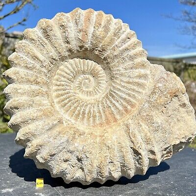 Mantelliceras sp. Giant Ammonite Fossil from Morocco - Cretaceous - FSE363