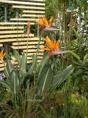 Strelitzia Reginae - 50 Seeds -  Bird of Paradise - LARGE PACK