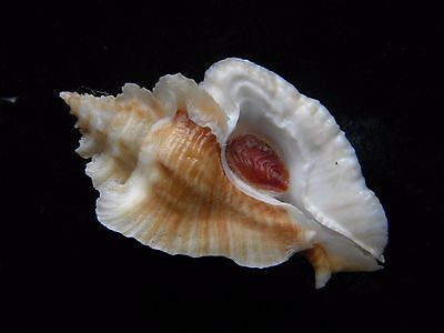 Sea Shells Pterynotus triformis / Triple Murex 57mm ID#3583C