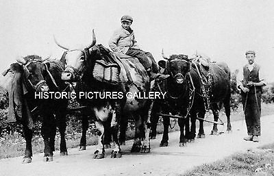 Shorthorn Cattle Plough Team North Cotswolds 1910 Vintage Mounted Print Farming