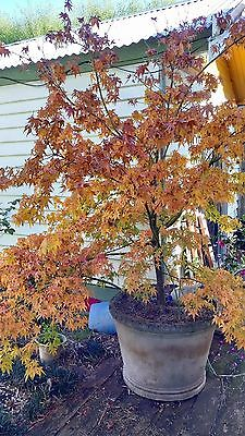 Large mature Japanese Maple plant with pot