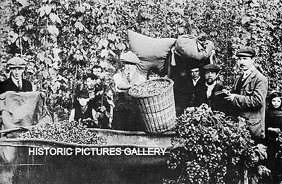 Hop Picking Mordants Farm Crowle Worcestershire 1905 Old Mounted Print Farming