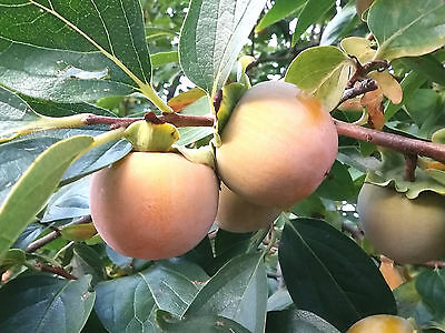 2x Sharon Fruit Trees Japanese Persimmon DIOSPYROS KAKI, sweet fruits, hardy