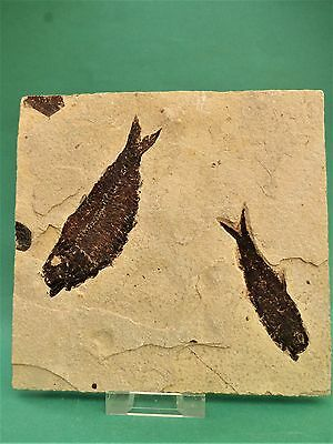 Double  fossil fish. Circa 48 m.y.o. Green River formation.Free display stand