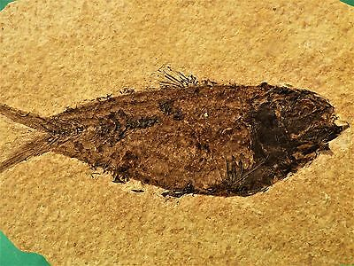 Fossil fish. Circa 48 m.y.o. Green River formation.21 x 13 cm. Good detail.