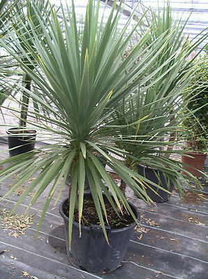 Cordyline Australis - cabbage palm UK crop 10  Fresh seeds