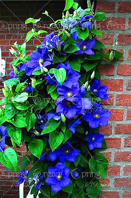 Clematis Flower from bulbs Outdoor Plant For Home Garden 2 Bulb free bonus