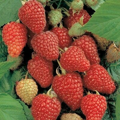 1 Sweet red raspberry plant Everbearing.  Zones 4-9 Live rooted Not Dormant
