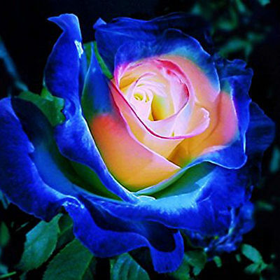 Blue/Pink Rose Exotic Flower Rose Seeds Rare Exotic Plant - AUS Stock