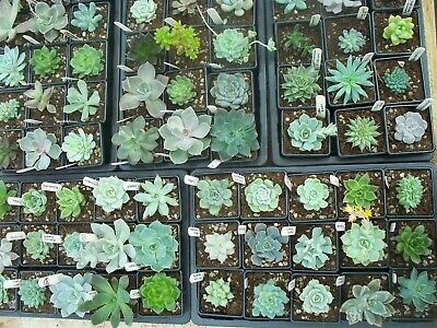 Echeveria Plants rare and unusual varieties