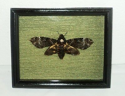 Real moth framed DEATH'S HEAD. in the movie silence of the lambs. Personal work.