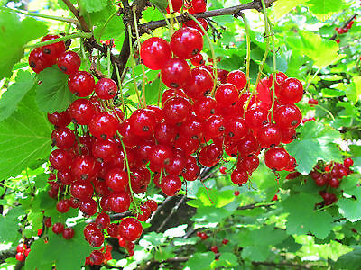 Red Currant berries -10 Seeds - Liveseeds -