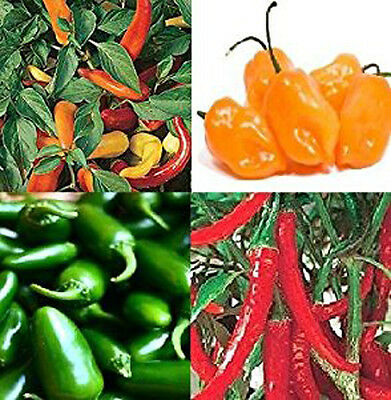CHILLI seeds Jalapeno,Hungarian,Habanero,Ring O FIRE 15 each All 60 seeds