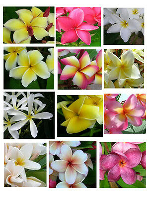 Plumeria, Frangipani - 1 Strong Plant Of  About 10 Cm / 1 Year Old- Rare !