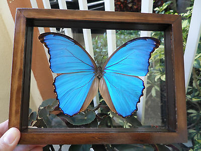 "Real Framed Butterfly Blue Peruvian Morpho Didius Mounted Double Glass 6.5""x7.5"""