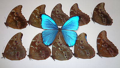 Lot Of 10 Morpho Didius Unmounted **art Work A1/a-** Perfect Condition**