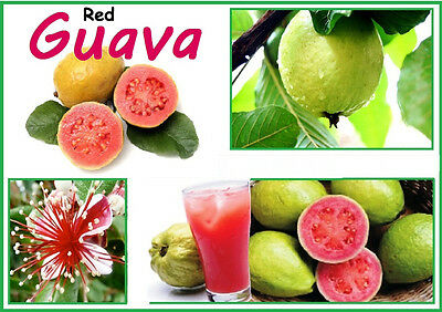 """""""Ruby Supreme"""" Red Guava 10 Finest  Seeds - Liveseeds"""
