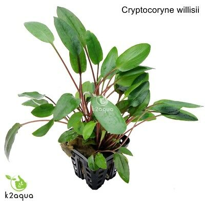 Cryptocoryne willisii Live Aquarium Plants Tropical Aquascaping Tank Co2 nano EU