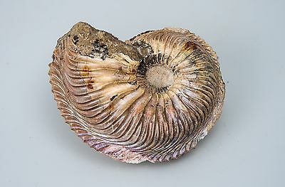 Large cardioceras ammonite from Russia