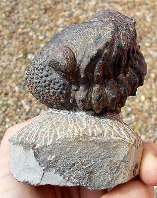 Large Fossil Trilobite - Drotops - Devonian age -  Morocco. Ref:DRTEw