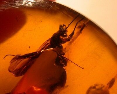 RARE Large Wasp with Cricket, Chironomids in Authentic Dominican Amber Gemstone