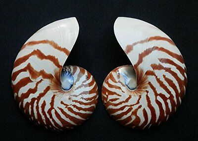 Seashell Polished Chamber Nautilus pompilius, split, 5""