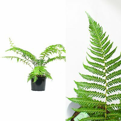 Inter Flower - 1 x Rare Tree Fern - Dicksonia antarctica - approx. 90cm Top