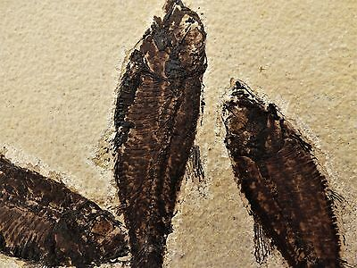 Group of Three  Knightia Fossil  Fish  - Circa 48 m.y.o. Green River formation.