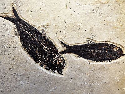 Knightia Pair of Fossil Fish.48 m.y.o. Green River formation.Free Display Stand