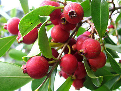 Red cherry guava/Strawberry  guava/ Cattley Guava/ Psidium cattleianum 5 Seeds