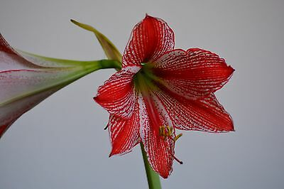 7 seeds Hippeastrum Garazu Zaiku x self + Ambiguum var. Tweedianum species 2017