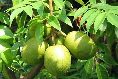 Hog Plum fruit tree plant 1x80cm tall tree (spondias cytherea )