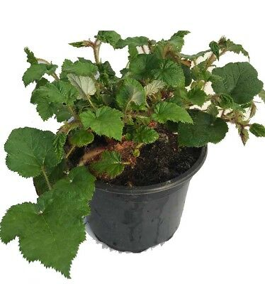 3 RUBUS Tricolor in 2L Pots - Evergreen Low Growing Ground Cover Plant